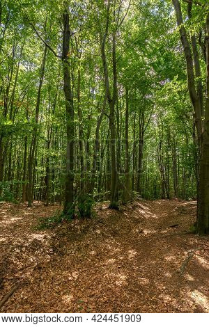 Dense Beech Forest In Summer. Beautiful Nature Environment On A Sunny Day. Tall Trees In Green Folia