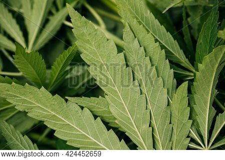 Legal Green Marijuana Cannabis Cutted Leaves Background At Farm In Summer Day, Beautiful Cannabis Ba