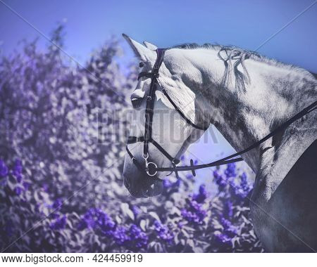 Portrait Of A Dapple Gray Horse With A Bridle On Its Muzzle Walking Near A Purple Lilac Bush On A Su