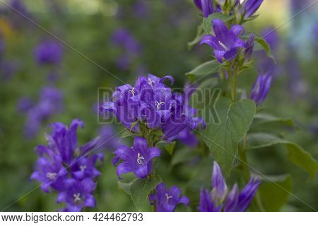 Background Purple Flowers Bluebells Broadleaf In The Garden Among The Greenery
