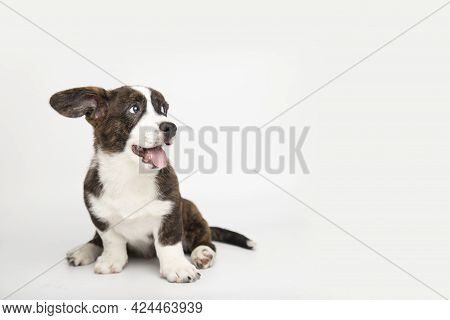 Welsh Corgi Cardigan Cute Fluffy Puppy Dog Sitting On A White Background With Copy Space. Funny Cute