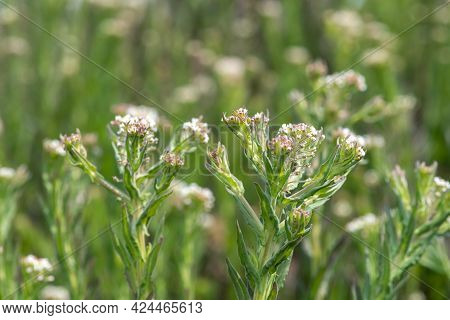 Close Up Of Field Cress (lepidium Campestre) In Bloom