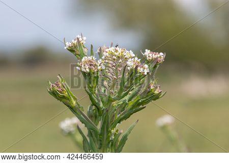 Field Cress (lepidium Campestre)
