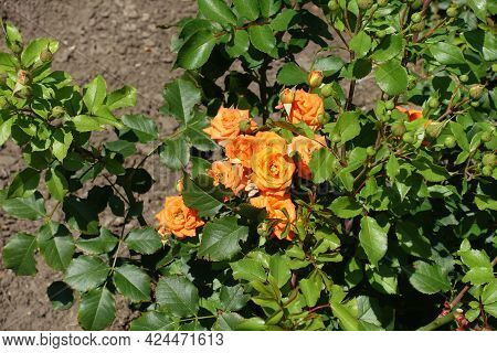 Many Orange Flowers In The Leafage Of Garden Roses In July