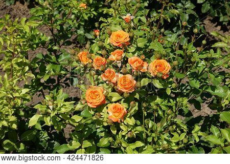Numerous Orange Flowers In The Leafage Of Garden Roses In July