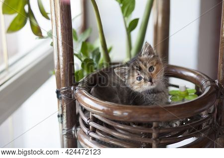 A Small Frightened Tricolor Kitten Climbed Into A Flowerpot, Hid Among Flowers And Grass.
