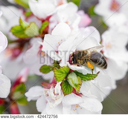 A Bee On A Cherry Blossom In The Park On A Sunny Spring Day. Selective Soft Focus. Front View