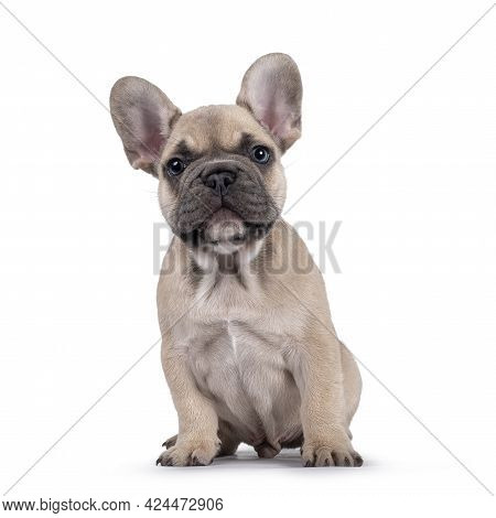 Adorable Fawn French Bulldog Puppy, Sitting Up Facing Front. Looking Curious Towards Camera With Blu