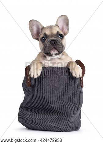 Adorable Fawn French Bulldog Puppy, Sitting In Rib Cord Basket. Looking Curious Over Edge Towards Ca