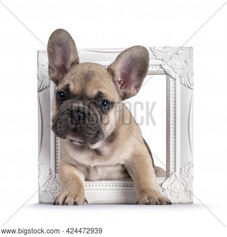 Adorable Fawn French Bulldog Puppy, Standing Through Photo Frame Looking Curious Towards Camera With