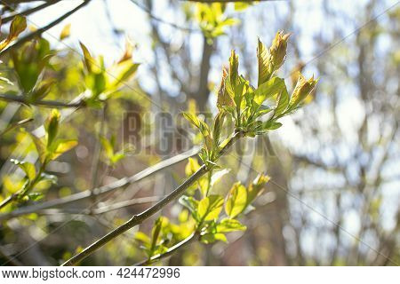 Young Spring Shoots With New Leaves Against A Blue Sky On A Sunny Day. Background From Young Fresh L