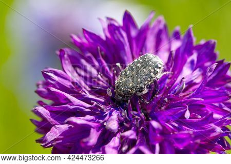 Bug Collects Pollen From A Cornflower. Pink Cornflower With Black Bug, Close Up On Natural Backgroun