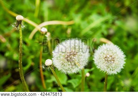 White Fluffy Dandelions In Green Grass, Summer Day, Natural Background