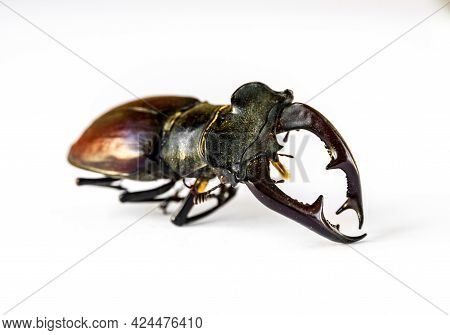 Dried European Stag Beetle Isolated On White Background