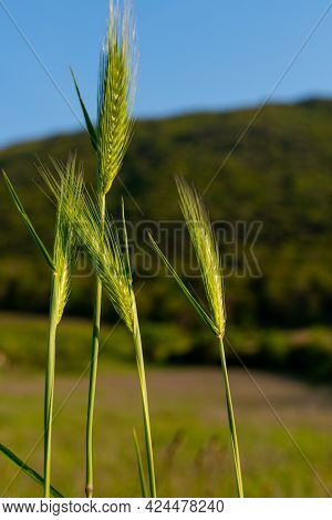 Fresh Green Spikes On Amazing Mountains And Sky Background. Crop Harvesting In Springtime, Cereal Sp
