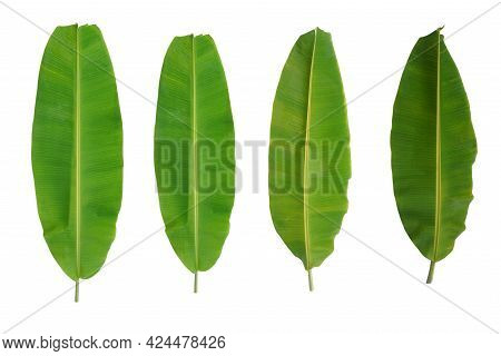 Four Banana Leaves On A White Background With Clipping Path. Green Banana Leaf Is Isolated On A Whit