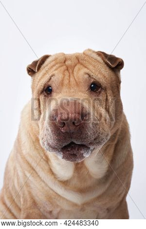 Shar Pei On White Background. The Happy Dog, Funny Face