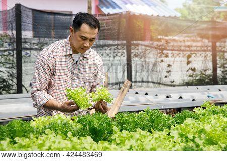 Farmer Harvest Organic Hydroponic Green Oak Lettuce In Plant Nursery Farm.