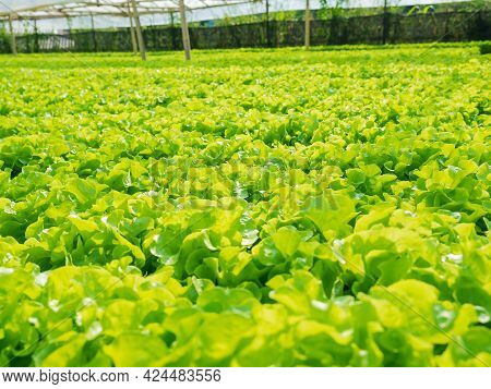 Cultivation Hydroponic Green Oak In Plant Nursery Farm, Organic Vegetables.