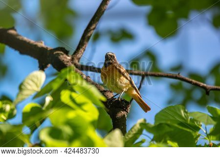 The Common Redstart Sits On A Branch Against A Bright Blurred Background In The Morning Sun. The Com