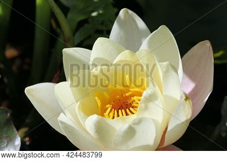 Single Very Pale Yellow Water Lily, Nymphaea Species, Flower With Pink Outer Petals And Lit By Brigh