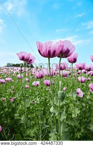 A Field Of Blooming Purple Poppies. A Beautiful Photo For A Postcard. Summer Landscape. Vertical Pho