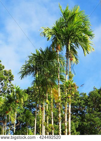 Row Of Tropical Palm Trees Under Blue Sky At The Botanical Garden In Martinique. Palm Trees, Lush Ve