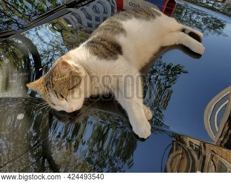 Dirty White Spotted Tabby Cat Napping On Black Car Bonnet Surface With Blurred Reflection Of Tree Le