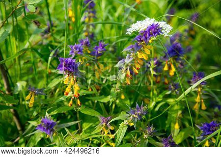 Flowers Marjannik Dubravny (lat. Melampyrum) Or Ivan-da-marya Lilac And Yellow Colors In The Form Of