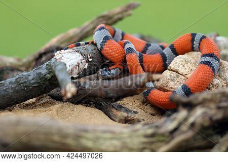 The Gray-banded Kingsnake (lampropeltis Alterna), Sometimes Referred To As The Alterna Or The Davis