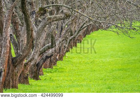 Early Spring In A Garden With Rows Of Apple Trees. Row Of Apple Trees With Green Grass. Spring Natur