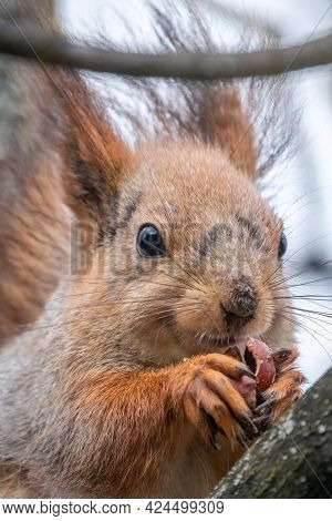 The Squirrel With Nut Sits On A Branches In The Spring Or Summer. Portrait Of The Squirrel Close-up.