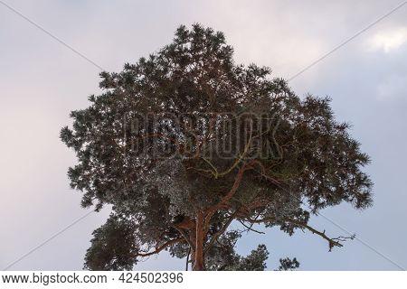 A Canopy Of A Conifer Under A Cloudy Sky
