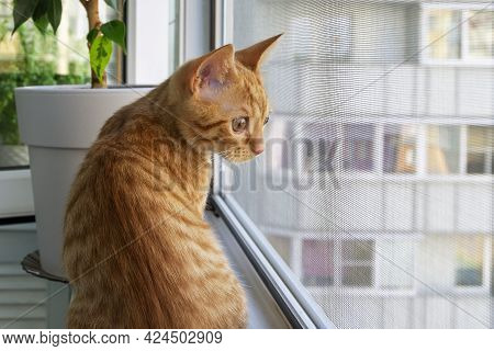Close-up Of A Small Cute Ginger Tabby Kitten Sitting On The Windowsill And Looking Out Through The M