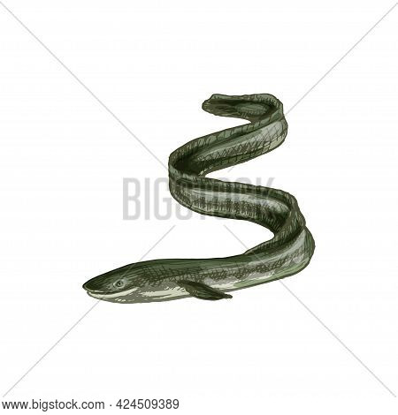 Eel Fish. Vintage Hatching Color Illustration Isolated On White Background. Hand Drawn Design In A G