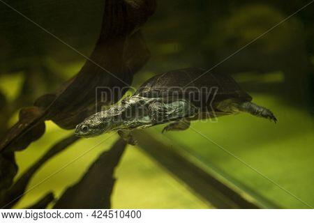 African Keeled Mud Turtle (pelusios Carinatus) In Zoo.