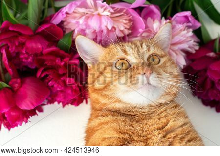 Adorable funny ginger tabby cat posing over blooming peonies flowers.