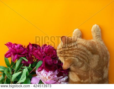 Adorable funny ginger tabby cat lies near the bouquet of blooming peonies flowers and sniffs fragrance. Summer postcard, poster or wallpaper