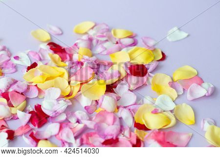 Rose petals on light purple background. Seasonal flowers natural wallpaper