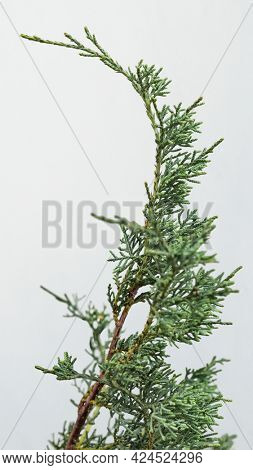 Evergreen spruce twig on a white background