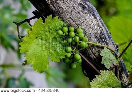 Vine Of A White Grape (vitis) On An Old Gnarled Wooden Vine, Fruit In Early Summer, Germany, Europe