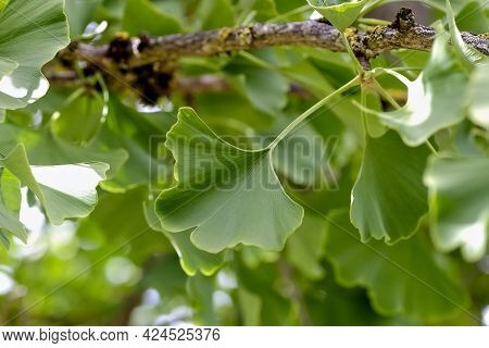 Leaves Of The Medicinal Plant Ginkgo On A Ginkgo Tree In Summer, Ginkgo Biloba