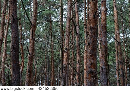 Pine Forest Texture. Straight Brown Trunks Of Conifers. Pine Forest Tree Trunks In Summer Day As Bea