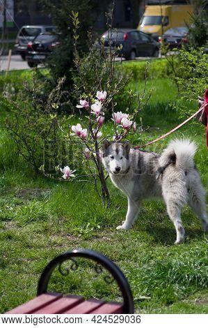 A Dog Sniffs Flowers In The Park. Dog Near Flowers. The Dog Near The Magnolia. Husky On A Leash. Ver