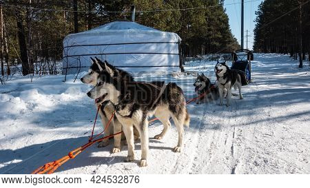 A Team Of Siberian Huskies Stands On A Snowy Road In A Coniferous Forest. Black And White Fluffy Fur