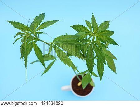 Cannabis plant on flower pot Cannabis plant  Marijuana plant banner. Hemp or cannabis plant in flower pot isolated on blue background.