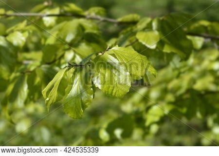 Persian Ironwood Leaves - Latin Name - Parrotia Persica