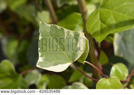 Algerian Ivy Glorie De Marengo Leaves - Latin Name - Hedera Algeriensis Glorie De Marengo