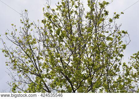 London Plane Branches - Latin Name - Platanus X Hispanica (platanus X Acerifolia)