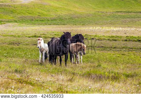 Only one breed of horse lives in Iceland. Herd of beautiful and kind horses grazes in the green grass of the Icelandic tundra. Golden summer sunset. Ecological, active and photo tourism concept